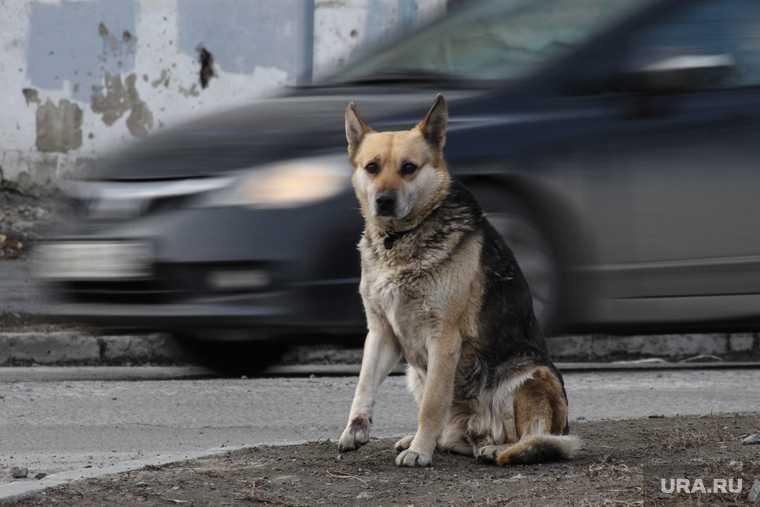 бездомные собаки Шатрово